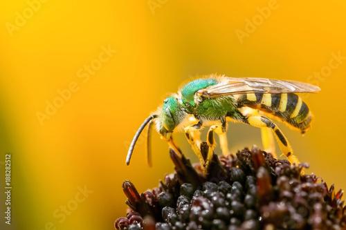 Fényképezés Green bee collecting pollen