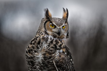 Grey Horned Owl