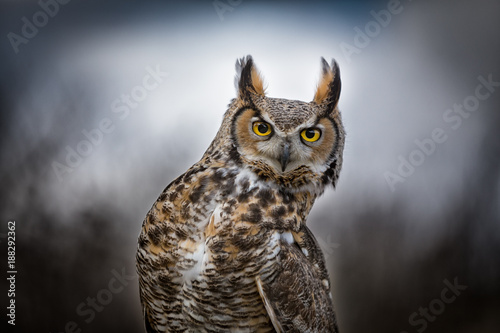 Keuken foto achterwand Uil Grey Horned Owl