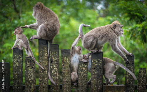 Poster de jardin Singe Macaque Monkeys