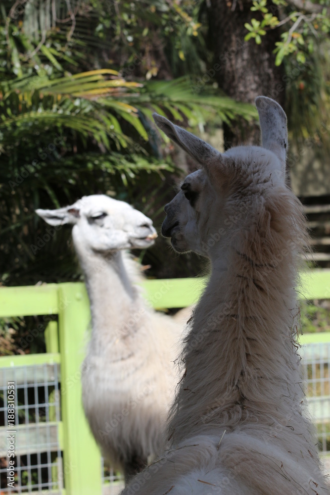 Funny portrait of Two llamas / Silly Animals Foto, Poster ...