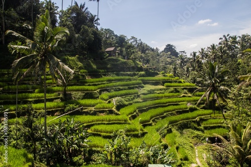 Fotobehang Rijstvelden Tegalalang ricefields, one of the most beautiful rice fields in Bali island.