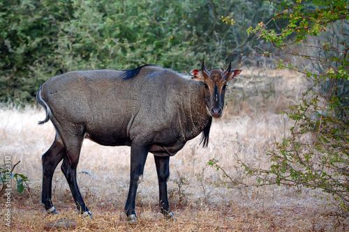 Photo Wild Nilgai or Boselaphus tragocamelus