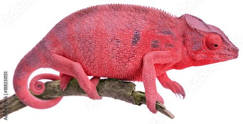 Staande foto Kameleon caméléon rouge, fond blanc