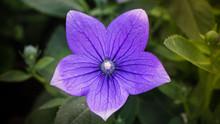 Violet Balloon Flower.