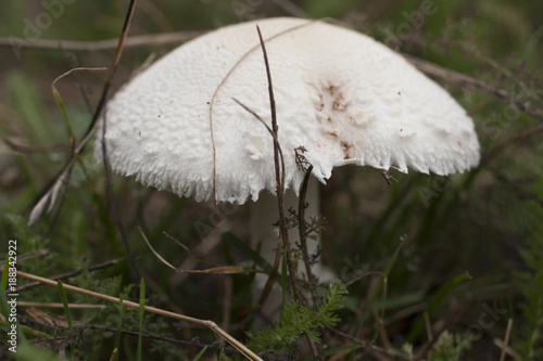 Mushroom in the grass. Field mushroom. A young Agaricus. Wallpaper Mural