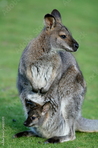 Mother And Joey Bennetts Wallabies Macropus Rufogriseus Tasmania And Mainland Australia Buy This Stock Photo And Explore Similar Images At Adobe Stock Adobe Stock
