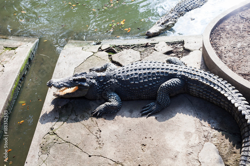 Fotografie, Obraz  Crocodiles are larger crocodile animals living in connection with water