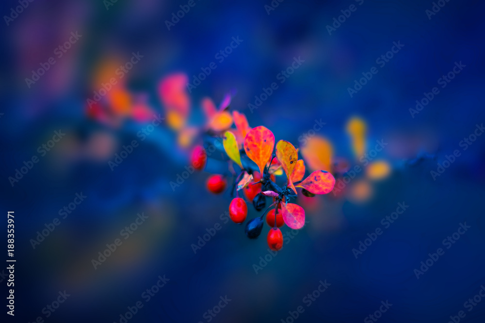 Fototapety, obrazy: Red barberry. Autumn nature background