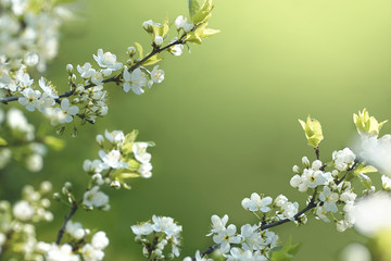 FototapetaBeautiful floral spring abstract background of nature. Branches of blossoming cherries macro on a gentle light green background. For easter and spring greeting cards with copy space.