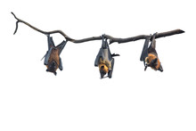 Bats Hanging From Tree Branch ...