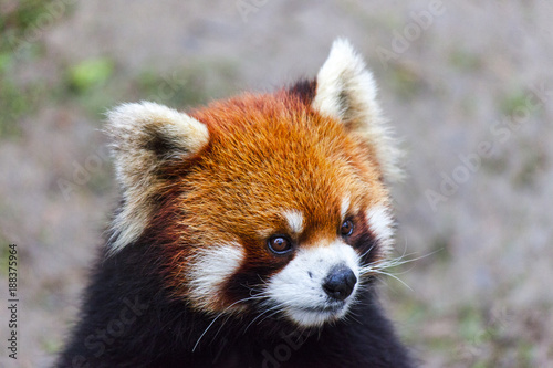 In de dag Panda Face the red Panda. The male red Panda on the meadow . China.