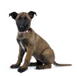 canvas print picture - Belgian shepherd dog / puppy sitting side ways looking at camera isolated on white background