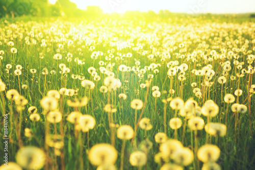 Fototapety, obrazy: Meadow of dandelion flower over the background of summer landscape