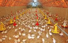 Flock Of Small Turkeys On Farm