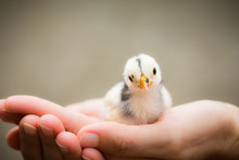 Little Chick Bird In Hands