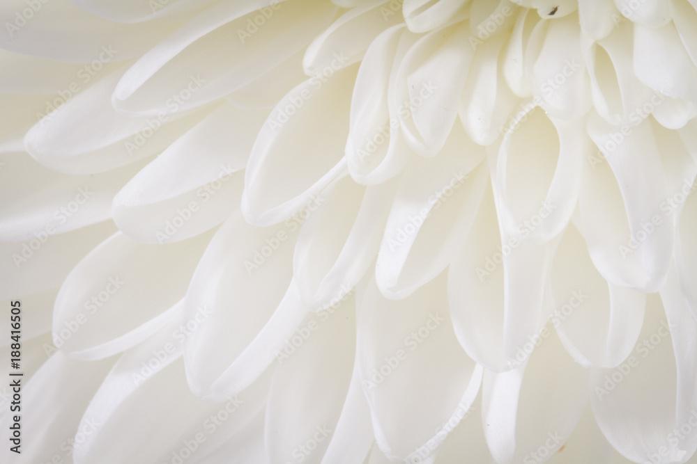 Fototapeta Soft closeup of white Chrysant flower petals with warm tint