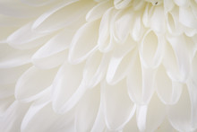Soft Closeup Of White Chrysant...