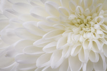 Closeup Of White Chrysant Flow...