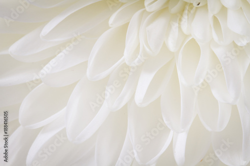 Soft closeup of white Chrysant flower petals with warm tint