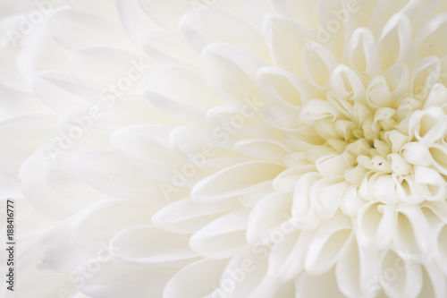 Leinwand Poster light closeup of white Chrysant flower with center on the right