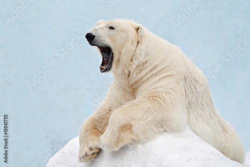 Deurstickers Ijsbeer Белый медведь зевает.