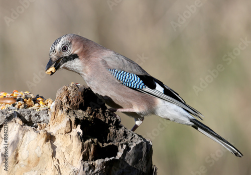 The Eurasian jay with a walnut in beak sits on a vertical log-feeder on a blurred background Canvas Print