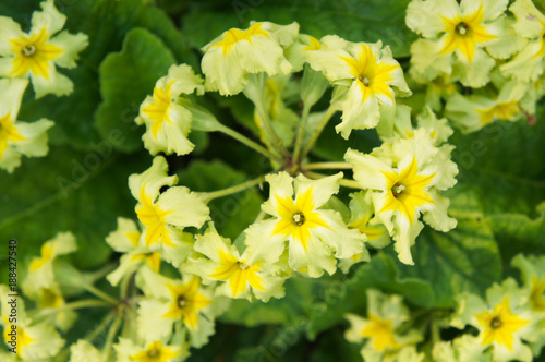 Primula Polyantha Francesca Yellow White Flowers With Green Kaufen
