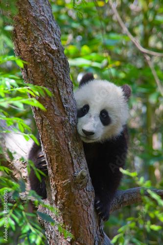 In de dag Panda Panda cub climbs a tree in a forest.