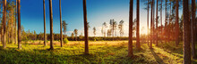 Coniferous Forest With Pine Trees At Sunset. Panoramic View In The Woods