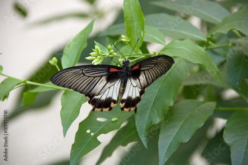 black and white butterfly with two red dots buy this stock photo