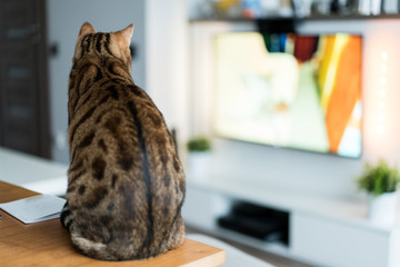 The back of bengal cat watching television
