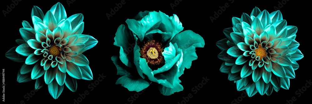 Fototapety, obrazy: 3 surreal exotic high quality turquoise flowers macro isolated on black. Greeting card objects for anniversary, wedding, mothers and womens day design