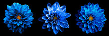 3 Surreal Exotic High Quality Blue Flowers Macro Isolated On Black. Greeting Card Objects For Anniversary, Wedding, Mothers And Womens Day Design