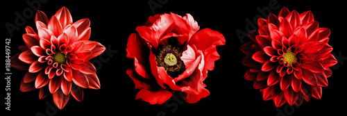 Poster de jardin Dahlia 3 surreal exotic high quality red flowers macro isolated on black. Greeting card objects for anniversary, wedding, mothers and womens day design