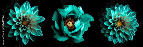 3 surreal exotic high quality turquoise flowers macro isolated on black. Greeting card objects for anniversary, wedding, mothers and womens day design © boxerx