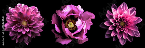 Poster Fleuriste 3 surreal exotic high quality pink flowers macro isolated on black. Greeting card objects for anniversary, wedding, mothers and womens day design