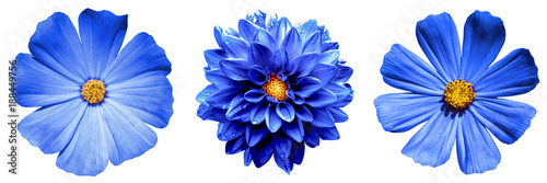 Poster de jardin Dahlia 3 surreal exotic high quality blue flowers macro isolated on white. Greeting card objects for anniversary, wedding, mothers and womens day design