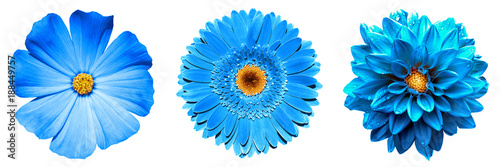 Keuken foto achterwand Gerbera 3 surreal exotic high quality blue flowers macro isolated on white. Greeting card objects for anniversary, wedding, mothers and womens day design
