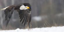 Flying Bald Eagle In Winter
