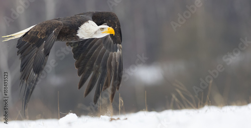 flying bald eagle in winter Wallpaper Mural