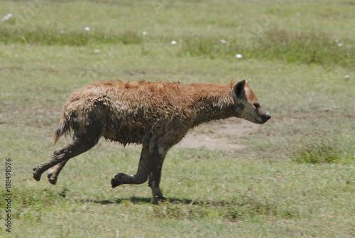 Photo sur Toile Hyène hyène afrique animaux