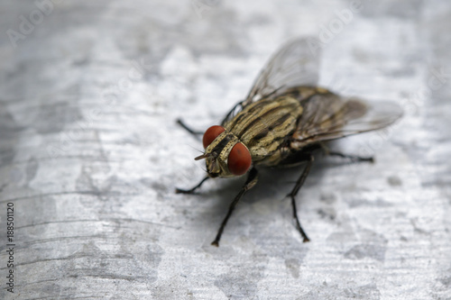 Image of a fly (Diptera) on zinc metal. Insect Animal