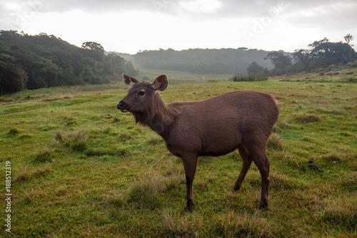 Photo  Wild sambar deer or Cervus unicolor