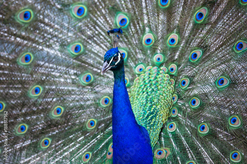 Fotografia, Obraz Splendid peacock with feathers out (Pavo cristatus) (shallow DOF; color toned im