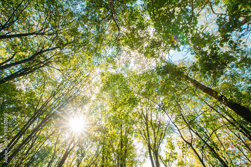 Obraz na płótnie Spring Sun Shining Through Canopy Of Tall Trees. Sunlight