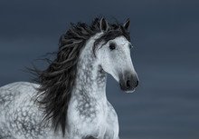 Gray Long-maned Andalusian Horse In Motion On Dark Cloud Sky.