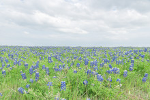Texas Bluebonnet Filed And Blue Sky Background In Ennis, Texas, USA. Bright Colorful Blanket Of Texas Wildflowers Blooming In Ennis, Texas, USA.