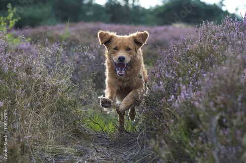 Foto  Golden Retriever is running in the flowering heather with a happy face and flying flap ears