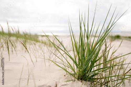 Fototapeta Grass in the dunes